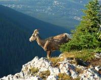 Chèvre de montagne sur la falaise image stock