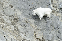 Chèvre de montagne sur la falaise images stock
