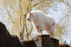 Chèvre de montagne sur la roche Photographie stock