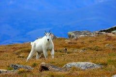 Chèvre de montagne sur la toundra de chute Photographie stock