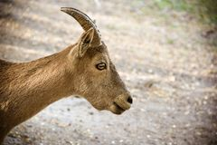 Chèvre de montagne sur le fond naturel naturel Portrait de chèvre de montagne dans le profil Images libres de droits
