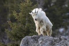 Chèvre de montagne sur le rebord de roche Photographie stock