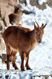 Chèvre de montagne sur les roches Photo libre de droits