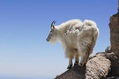 Chèvre de montagne sur une saillie de haute montagne images stock