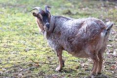 Chèvre de nain de Brown Cameroun se tenant sur le sable Vue de côté photo stock