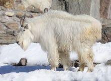 Chèvre de neige ou chèvre de montagne Chèvre rocheuse de moumtain Images libres de droits