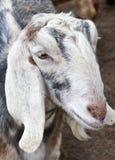 Chèvre de Nubian Photo libre de droits
