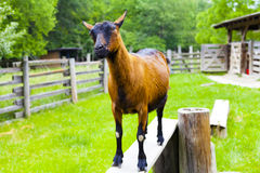 Chèvre de Nubian Images stock