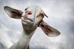 Chèvre de Nubian avec de grandes oreilles photo libre de droits