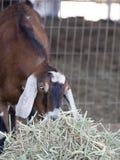 Chèvre de Nubian mangeant le foin Photographie stock libre de droits