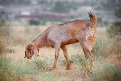 Chèvre de pâturage domestique Image libre de droits