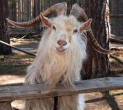 Chèvre de sourire Images libres de droits