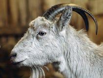 Chèvre de verticale Image libre de droits