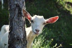Chèvre derrière l'arbre Photo stock