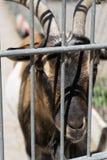 Chèvre derrière une barrière Photos libres de droits
