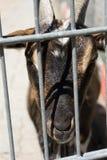 Chèvre derrière une barrière Photographie stock
