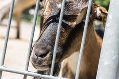 Chèvre derrière une barrière Image libre de droits
