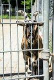 Chèvre derrière une barrière Photographie stock libre de droits