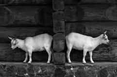 Chèvre deux Photographie stock