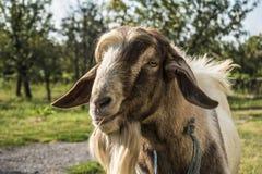 Chèvre devant le verger photos libres de droits