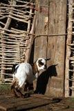 Chèvre devant une porte Photographie stock libre de droits