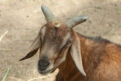 Chèvre domestique photographie stock libre de droits