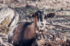Chèvre domestique avec le métal authentique Bell dehors Image libre de droits