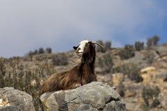 Chèvre domestique avec une longue peau de chèvre brune Photos stock
