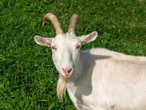 Chèvre domestique blanche Photographie stock