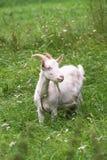 Chèvre domestique blanche, alimentant sur l'herbe fraîche dans le Russe à l'intérieur Photo stock