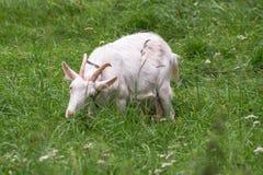 Chèvre domestique blanche, alimentant sur l'herbe fraîche dans le Russe à l'intérieur Photos libres de droits