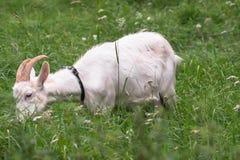 Chèvre domestique blanche, alimentant sur l'herbe fraîche dans le Russe à l'intérieur Images stock