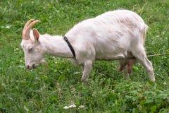 Chèvre domestique blanche, alimentant sur l'herbe fraîche dans le Russe à l'intérieur Photographie stock libre de droits