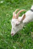 Chèvre domestique blanche, alimentant sur l'herbe fraîche dans le Russe à l'intérieur Photographie stock