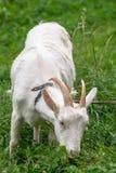 Chèvre domestique blanche, alimentant sur l'herbe fraîche dans le Russe à l'intérieur Image libre de droits