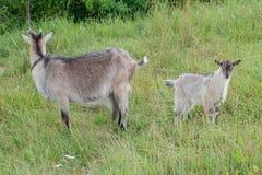 Chèvre domestique de daine et son enfant extérieurs Photo stock