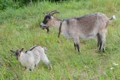 Chèvre domestique de ferme et son enfant extérieurs Photographie stock libre de droits