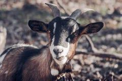Chèvre domestique dehors Photos libres de droits
