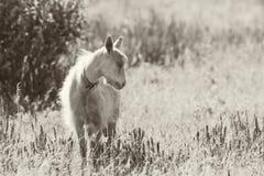 Chèvre domestique mignonne frôlant dans le pré photos stock