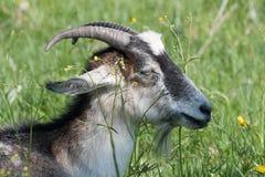 Chèvre domestique très belle Images libres de droits