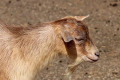 Chèvre douce photo stock
