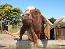 Chèvre drôle photographie stock libre de droits