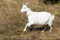 Chèvre drôle dans le pré photo libre de droits