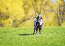Chèvre drôle frôlant dans un temps clair de pré vert luxuriant image libre de droits