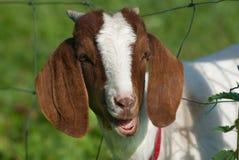 Chèvre drôle Images libres de droits