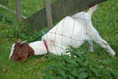 Chèvre drôle Images stock