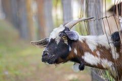 Chèvre drôle regardant fixement l'appareil-photo Photos libres de droits