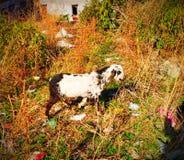 Chèvre du Cachemire Saanen photos stock