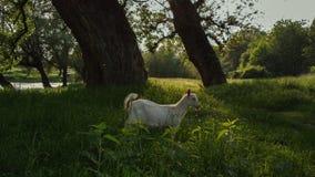 Chèvre en bois Photos libres de droits