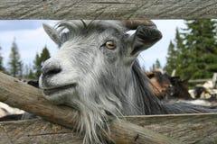 Chèvre en captivité photographie stock